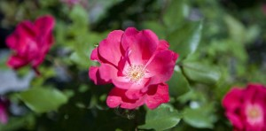 knockout roses landscaping