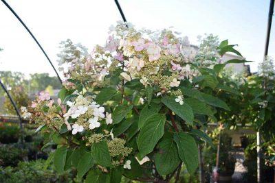 Hydrangea Tree Nashville TN
