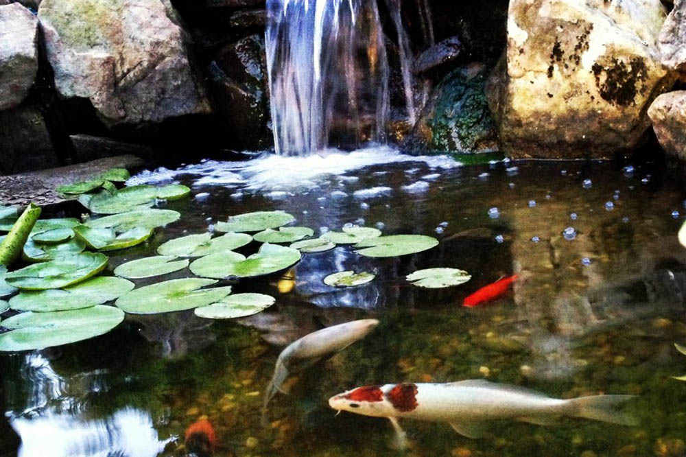 Koi Fish With Lily