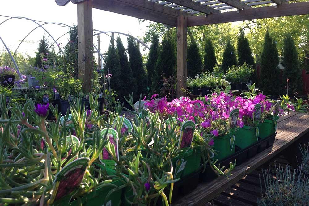 Sun Perennials At JVI Secret Gardens
