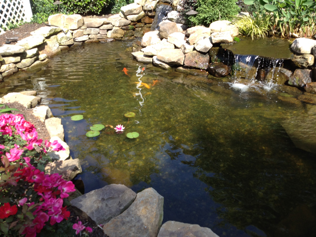 Goldfish pond jvi secret gardens for Best goldfish for outdoor pond