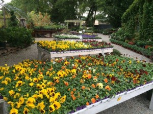 tables and tables of pansies. Pansies brighten up flowers bed that have gone dreary with the coming Fall weather.